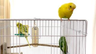 放鳥後ケージに戻らないインコをケージに戻す方法
