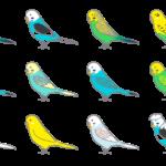 セキセイインコの色と品種。人気の品種からレア種までわかりやすく解説!