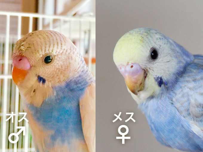 セキセイ インコ 雛 性別 セキセイインコ雛から成鳥へ性別の見分け方を写真で解説