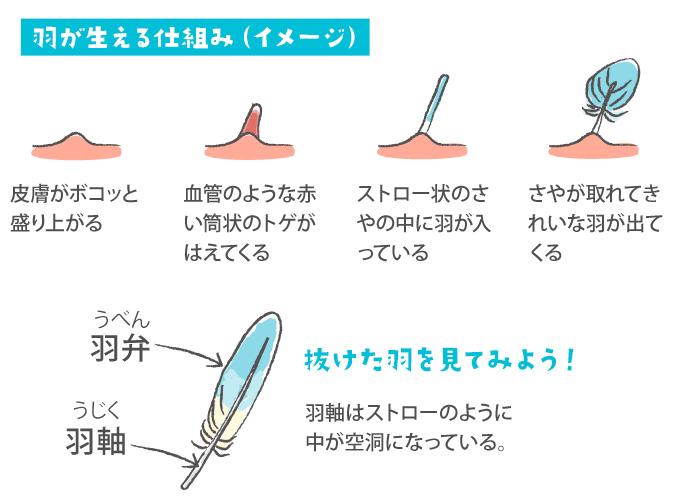 羽が生える仕組みのイラスト