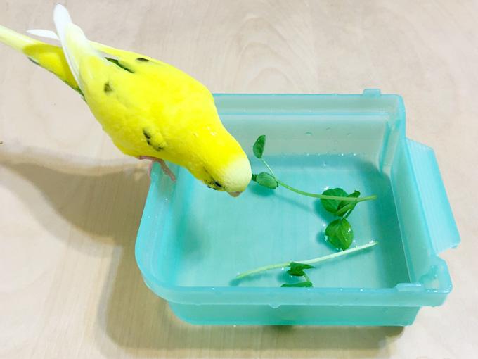 青菜を入れた水浴び容器